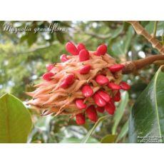 Yaprak Dökmeyen Manolya İthal Aşılı Magnolia Grandiflora 250-275 Cm