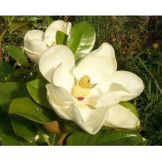 Yaprak Dökmeyen Manolya İthal Aşılı Magnolia Grandiflora 220-250 Cm