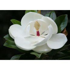 Yaprak Dökmeyen Manolya Yerli Aşılı Tijli Magnolia Grandiflora