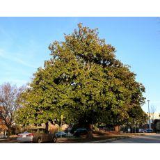 Yaprak Dökmeyen Manolya İthal Aşılı Magnolia Grandiflora 300-325 Cm