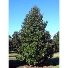 Yaprak Dökmeyen Manolya İthal Aşılı Magnolia Grandiflora 275-300 Cm