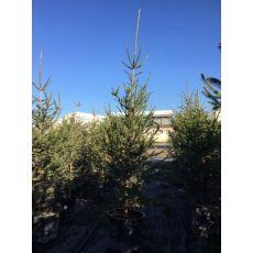 Yılbaşı Ağacı Batı Ladini Picea Abies 250-275 Cm