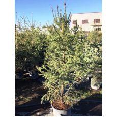 Yılbaşı Ağacı Batı Ladini Picea Abies 200-225 Cm