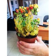 Aşkın Gözyaşları Çiçeği Ekeverya Echeveria Glauca Sukullent