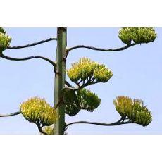 Sarı Sabır Agave Americana 70-90 Cm