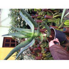 Aloe Vera Çiçeği Bitkisi