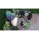 Sukullent ve Teraryum Bitki Çeşitleri