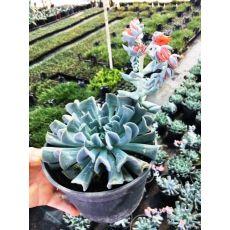 Aşkın Gözyaşları Kıvırcık Yapraklı Ekeverya Echeveria Glauca Sukulent 20 Cm Çapı
