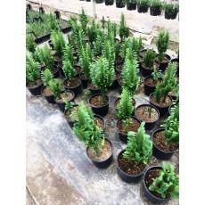 Kaktüs Cactus 20-30 Cm