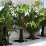 Palmiye Türleri
