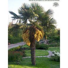 Tüylü Palmiye Chamaerops Excelsa Yapraklı  Boyu 80-100 Cm