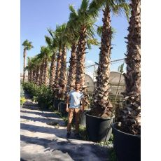 Tüysüz Palmiye Şamarobs Washington Filifera 500 Cm