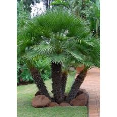 Çok Gövdeli Bodur Palmiye Chamaerops Humilis