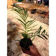 Fenix palmiye yalancı hurma Palmiyesi Phoenix Canariensis 15-20 Cm