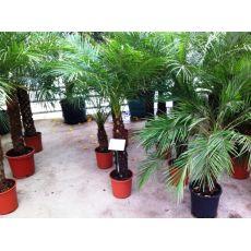 Palmiye İthal Palmiye İthal Phoenix roebelenii
