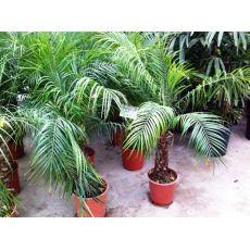 Palmiye İthal Phoenix roebelenii