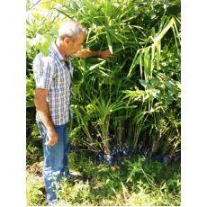 Tüylü Palmiye Chamaerops Excelsa Yapraklı  Boyu 175-200 Cm