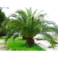 Fenix palmiye yalancı hurma Palmiyesi Phoenix Canariensis