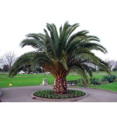 Fenix palmiye yalancı hurma Palmiyesi Phoenix Canariensis 400 Cm
