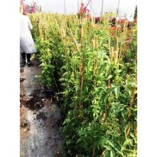 Ada Yasemini jasminum polyanthum 200- 220 Cm