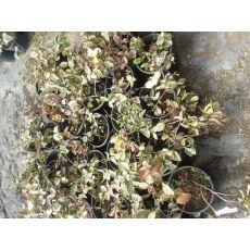 Arap Yasemini Çiçeği Alaca Yapraklı Jasminum 60-80 Cm