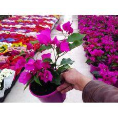 Bodur Begonvil Fidanı Çiçeği Bougainvillea Glabra 20-30 Cm Boyunda