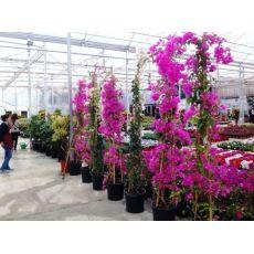 Begonvil Çiçeği Fidanı Gelin Duvağı Çiçeği 2 lİ Dikim 300 Cm