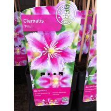Klamatis Sarmaşığı İthal Fuşya Çiçekli Clematis