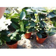 Madagaskar Yasemini Çiçeği ithal Stephanotis floribunda 20-30 Cm