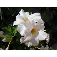 Mandevilla Dipladenia Beyaz Çiçekli