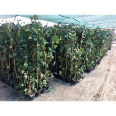 Sarmaşık Yeşil Yapraklı 140-160 Cm
