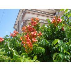 Acem Borusu Çiçeği Fidanı Campsis Radicans 50-70 Cm