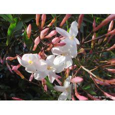 Ada Yasemini jasminum Polyanthum 70-90 Cm