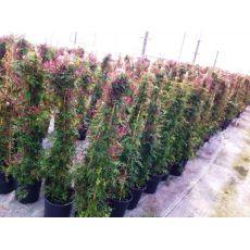 Ada Yasemini jasminum polyanthum 175- 200 Cm