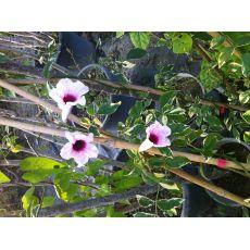 Alaca Yapraklı  Kokulu Çiçekli Sarmaşık