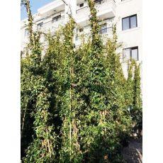 Arap Yasemini Çiçeği jasminum Officinale Grandiflorum 450 Cm Üçlü Dikim