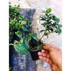Arap Yasemini Çiçeği jasminum Officinale Grandiflorum 10 Adet Fiyatı