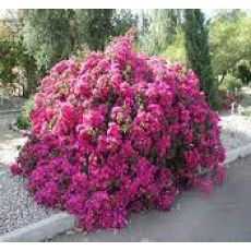 Begonvil Fidanı Gelin Duvağı Çiçeği 110-130 Cm