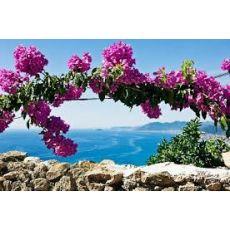 Begonvil Fidanı Çiçeği Bougainvillea Glabra 30-40 Cm