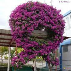 Begonvil Çiçeği Fidanı Gelin Duvağı Çiçeği
