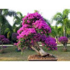 Bodur Begonvil Fidanı Çiçeği Pembe Bougainvillea Glabra 25-30 Cm Çapı