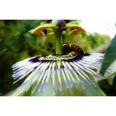 Çarkıfelek Meyvesi Yenilen Saat Çiçeği Passiflora Caerulea 15-25 Cm