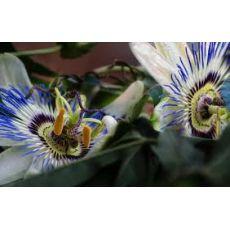 Çarkıfelek Saat Çiçeği iTHAL Mor Çiçekli Passiflora Caerulea 40-60 Cm