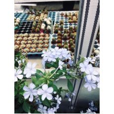 Sarmaşık Mavi Çiçekli Yasemin Bitkisi 175-200 Cm