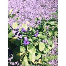 Sarmaşık Mavi Çiçekli Yasemin Bitkisi 100-120 Cm
