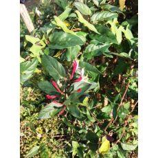 Hanımeli Sarmaşığı  Fidanı Kırmızı Sarı Çiçekli Lonicera canadensis 150-175 Cm