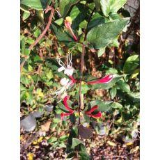 Hanımeli Sarmaşığı  Fidanı Kırmızı Sarı Çiçekli Lonicera canadensis 110-130 Cm