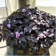 İpomeia Çiçeği Blackia 30-40 Cm