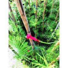Kardinal Sarmaşığı Bambulu Saksıda 100-120 Cm