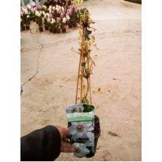 Klamatis Sarmaşığı İthal Beyaz Çiçekli Clematis